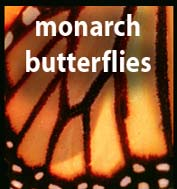 Monarch Butterflies in Pacific Grove